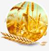 Волокна пшеницы