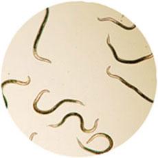 gelmifort от паразитов