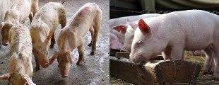 Свинки до и после