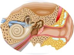 как устроено человеческое ухо