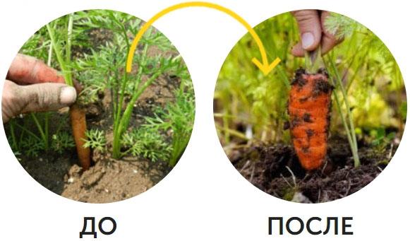 пример использования с морковью